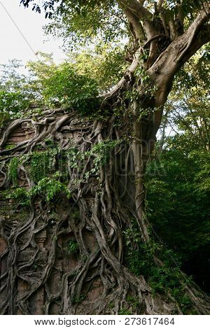 Huge Banyan Tree Growing Over An Old Brick Structure In The Jungles Of Cambodia