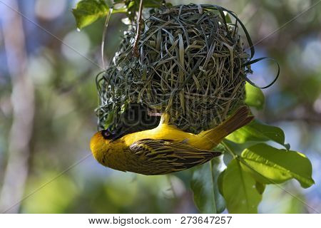 Male African Masked Weaver Is Building On His Nest