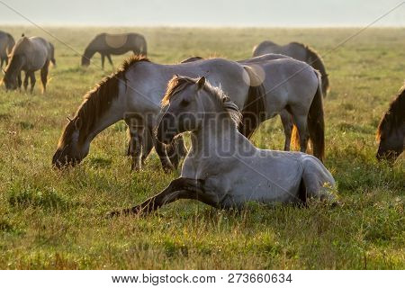 Herd Of Horses Grazing In A Meadow In The Mist. Horses In A Foggy Meadow In Autumn. Horses And Foggy