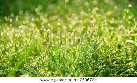 Fresh Morning Dew In Grass