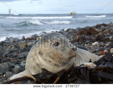 Seal Pup, Shipwreck And Beacon