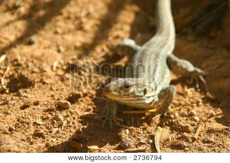 Lizard In Natural Environment