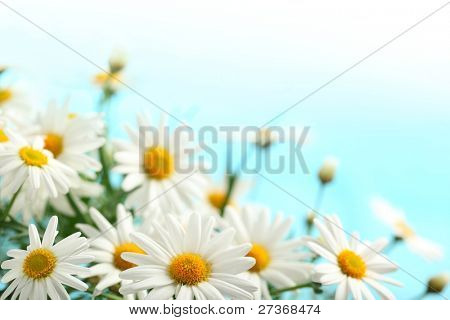 Closeup of daisies  on blue background,Shallow Dof.