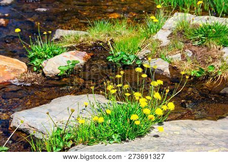 Spring Flowers, Yellow Dandelions On The Background Of A Calm Brook.