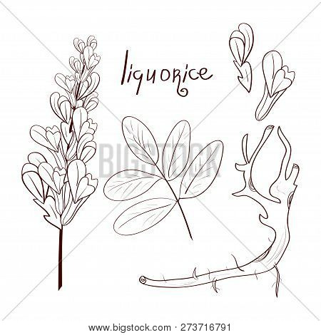 Licorice. Root, Leaf, Flower. Sketch. Set. Coloring.