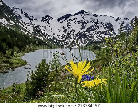 Yellow Field Flowers Against Mountains And Mountain Lake. Flower Valley. Reflection Of Snow-capped M
