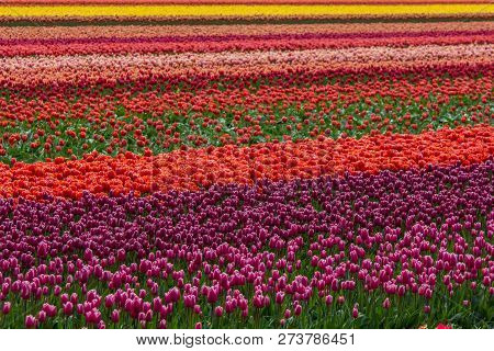 Vibrantly Colored Flowers In Tulip Field In Netherlands