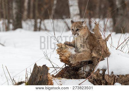 Female Cougar (puma Concolor) Ears Back On Log - Captive Animal