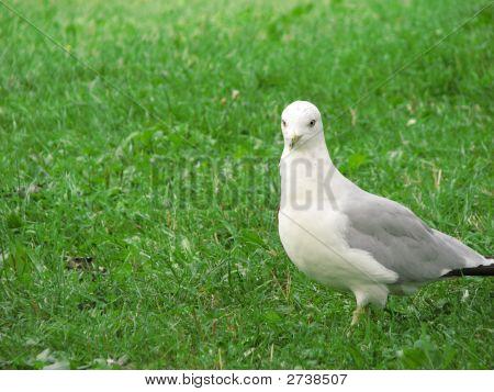 Gull Walking On Grass