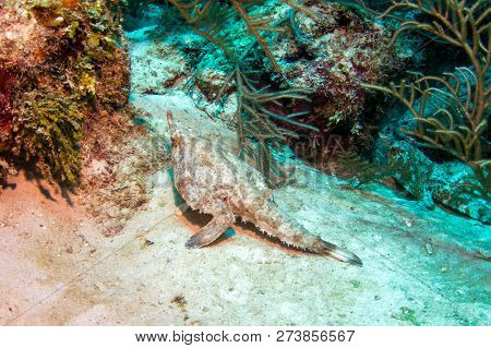 Longnose Batfish Seen In Belize Barrier Reef