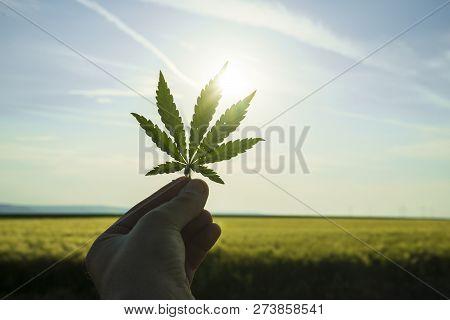 Cannabis Leaf Against The Sky. Hand Holding A Marijuana Leaf On A Background Of Blue Sky. Background