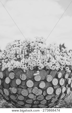 Spring, Daisy Flowers With White Petals In Wooden Cachepot, Floral Design. Chrysanthemum, Flowering