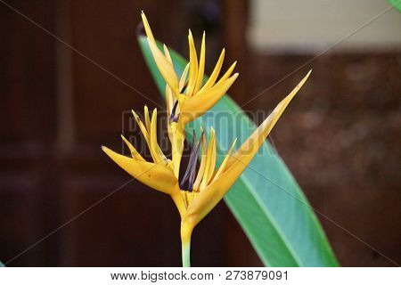 A Single Orange Heliconia Flower And Leaf