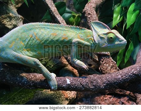 Green Chameleon On Branch Looking On You (chamaeleo Deremensis)