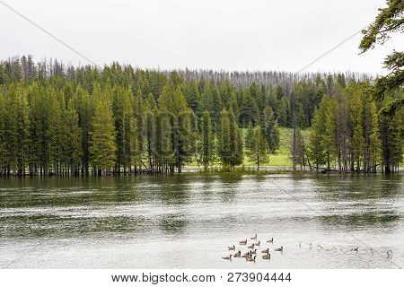 Green Forest By The Lake In Reflection In The Water. Ducks Swimming In The Lake Beautiful Forest Lak