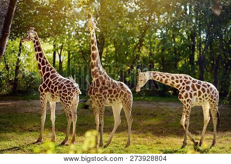 Giraffe In The Zoo. Keeping Wild Animals In Captivity