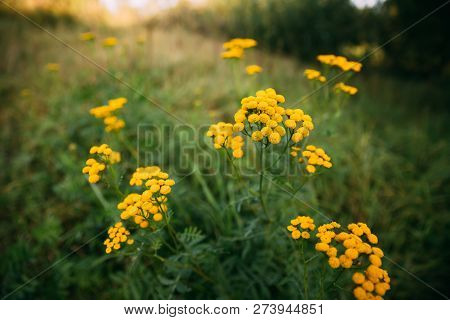 Tansy - Tanacetum Vulgare - Is A Perennial, Herbaceous Flowering Plant Of The Aster Family, Native T