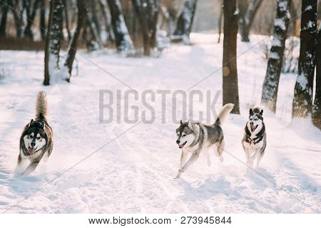 Three Funny Siberian Husky Dogs Running Together Outdoor In Snowy Park At Sunny Winter Day. Smiling