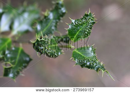 Hedgehog Holly Leaves - Latin Name - Ilex Aquifolium Ferox