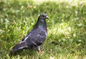 glamorous pigeon on the grass poster