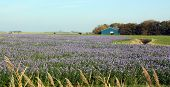 Field with purple flowers (phacelia) as green injector and bee food at Usquert. The Netherlands poster