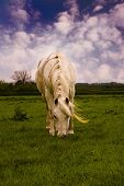 Pony Grazing on a windy summers day against a pretty blue sky. poster