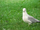 A gull walking on the grass while it is looking at you poster