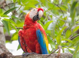 Scarlet Macaw (ara Macao), Large Red, Yellow, And Blue Central And South American Parrot.  Member Of