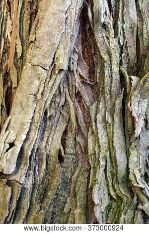 Detail On The Bark Of A Young Coastal Redwood, Sequoia Sempervirens- Texture Or Background