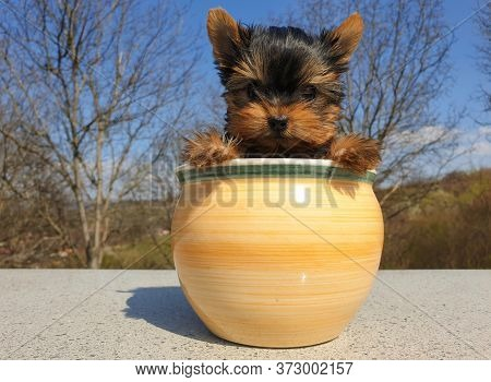Closeup Of Playful Baby Yorkshire Terrier Puppy Outside Sitting In A Flower Pot. Front Portrait And