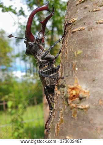 Side View Close-up Of Large Male European Stag Beetle (lucanus Cervus) Insect On Tree Branch, In Sun