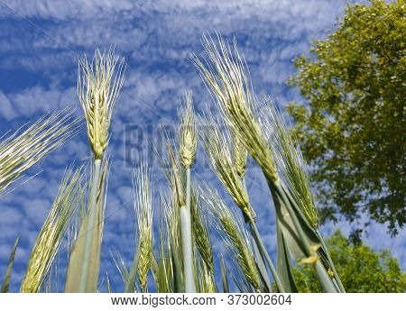 Wild Green Wheat Grain Ears And Seeds Close-up, Seen From The Ground Towards Beautiful Blue Sky Rese