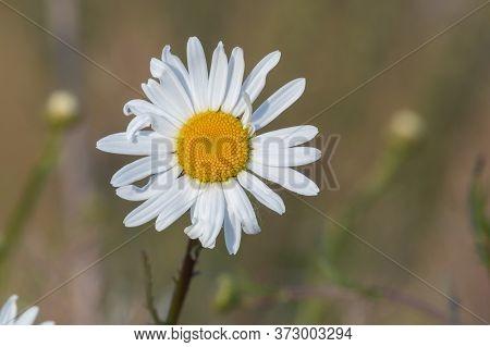 Close Up Of An Ox Eye Daisy (leucanthemum Vulgare) In Bloom