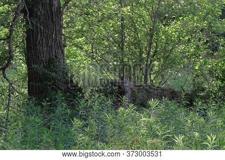 Bur Oak Tree (quercus Macrocarpa) In A Wisconsin Forest During Summer