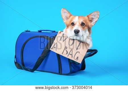 Obedient Corgi Sits  In Pet Carrier With Cardboard Sign And