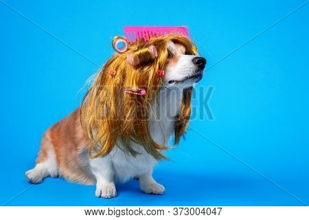 Funny Dog A Pink Comb​​ In A Bright Yellow Wig In Curlers On A Blue Background. Grooming And Care A