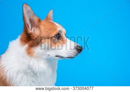 Portrait Of A Cute Welsh Corgi Pembroke  Dog, Attentive And Obediently Looking To The Side Against A