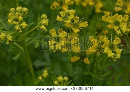 Common Rue With Flowers, Ruta Graveolens, In Garden, Selected Focus