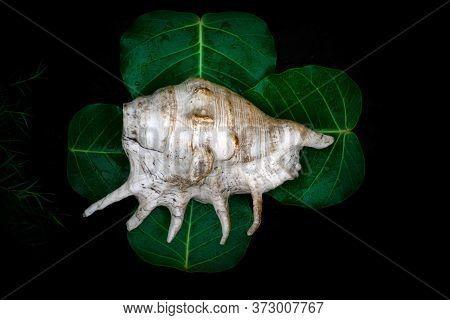 Shankha ( Brass Conch Shell ) Is Religious Importance In Hinduism And Buddhism On The Peepal Leaves.