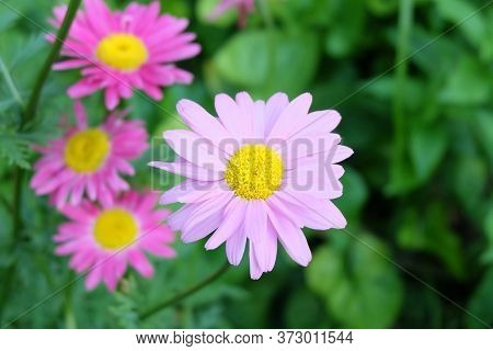 Pale Pink And Bright Pink Pyrethrum Flowers In The Flowerbed, Macro Photo, Selective Focus, Blurred