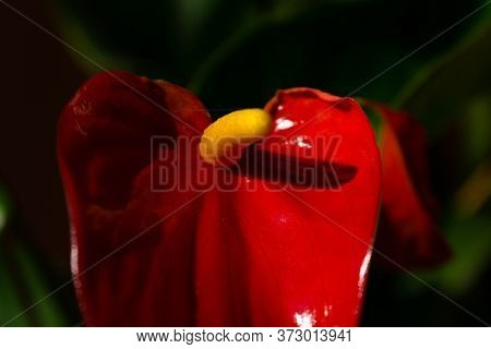 Red And Yellow Flower In The Garden, Anthurium