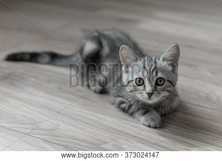 Lovable Grey Striped Kitten Laying On The Floor In The Living Room And Looking To The Camera. Curiou