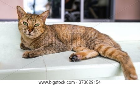 A Portrait Of A Mature Female Domestic Cat With Bright Green Eyes And Golden Brown Fur Lying Lazily