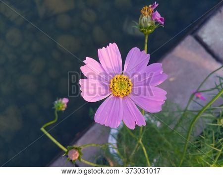 Pink Cosmos Flower Field Background.beautiful Cosmos Flower Natural Garden In Countryside.flower Fie