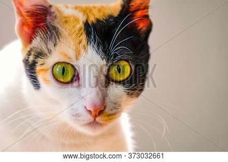 A Portrait Of A Young Short Hair Multicolored Domestic Cat With Yellow Green Eyes Looking Inquisitiv