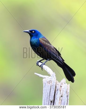 Common Grackle Standing On The Dried Tree Branch