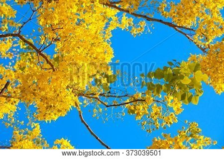 Golden Showerntree Or Cassia Fistula, A Symbol Of Summer In Thailand, With Its Yellow Flowers Shot A