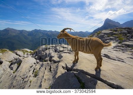 Wild Mountain Goat In Rocky Hilltop In Picos De Europa Mountains In Northern Spain