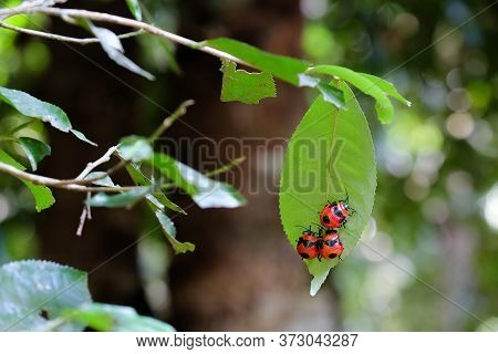 Three Giant Red Beetles Resting On A Wild Camillia Tree Leaf During Mid Day In The Asian Rain Forest
