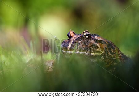 The Argentine Horned Frog (ceratophrys Ornata), Also Known As The Argentine Wide-mouthed Frog Or The